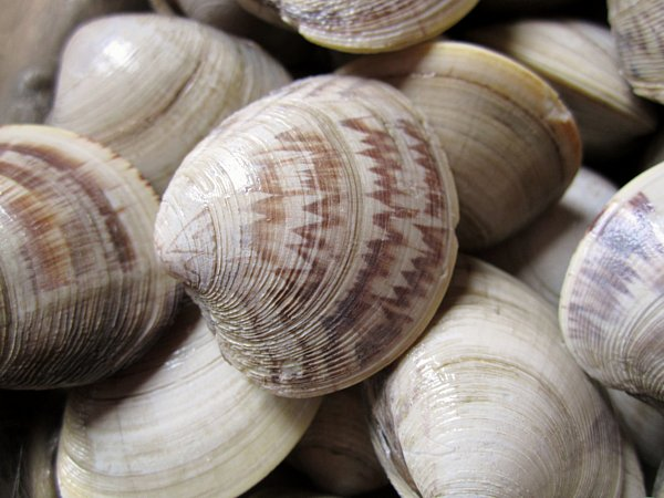 A closeup of uncooked clams