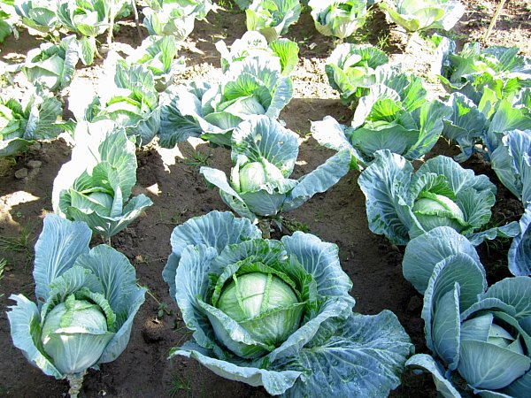 cabbages growing in a garden