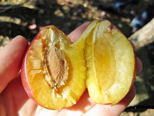a golden plum split in half on a person\'s palm
