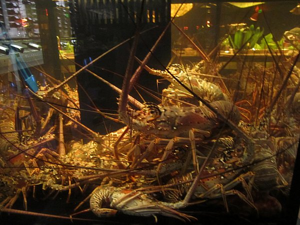 a bunch of Caribbean lobsters in a tank