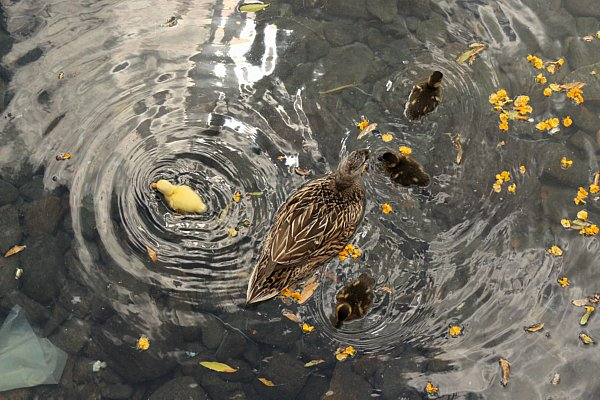 A closeup of an adult duck and ducklings in a body of water