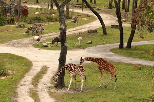 A herd of giraffe grazing in a field