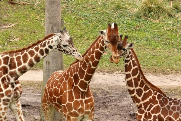 three giraffes huddled together