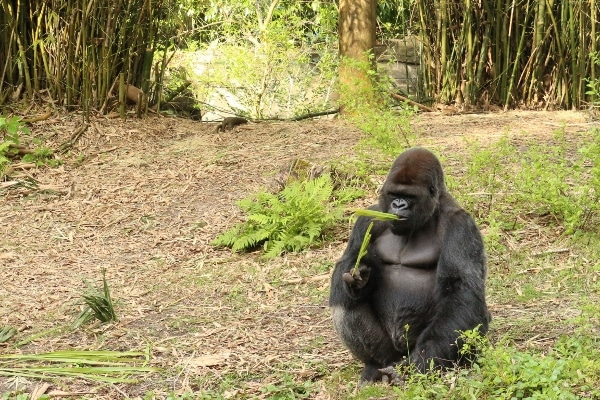 A gorilla sitting in the grass and eating leaves