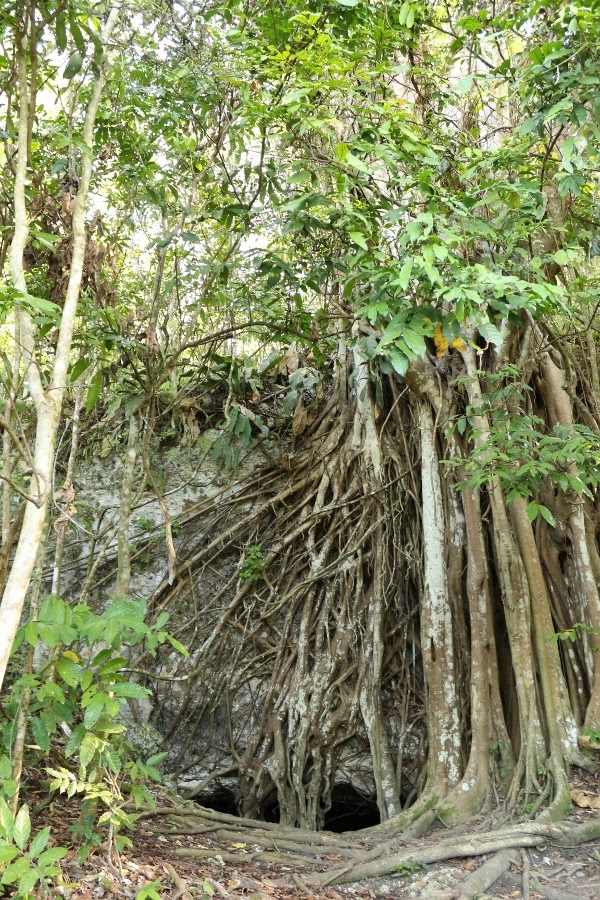 A tree with exposed roots in a forest
