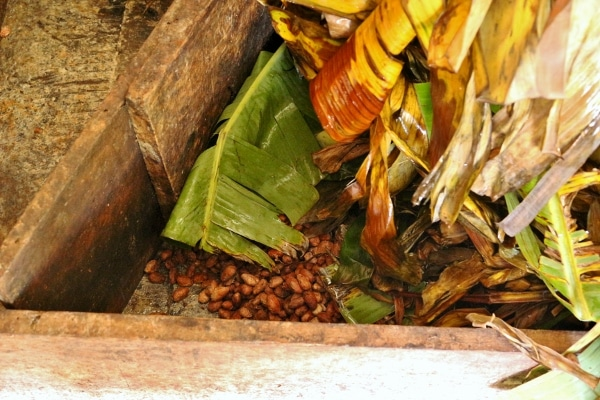 A pile of banana leaves covering cocoa beans that are fermenting