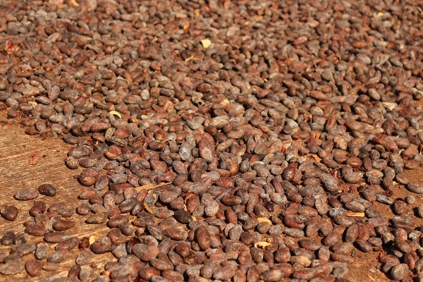 A close up of cocoa beans drying in the sun