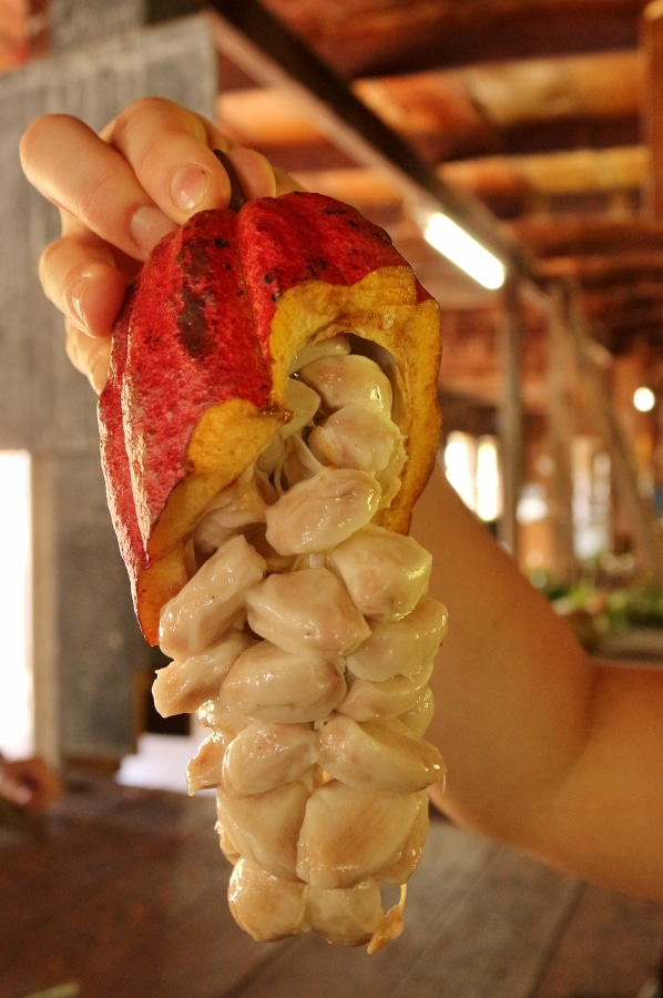 a cacao pod cut open to show what it looks like inside