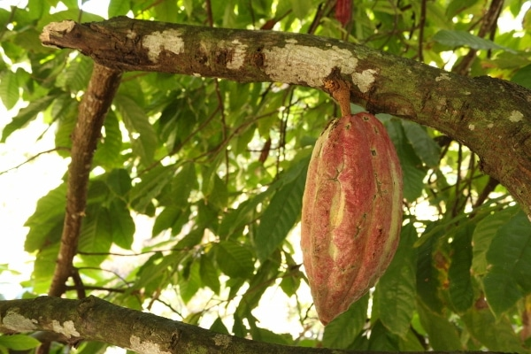 A cacao pod hanging from a tree