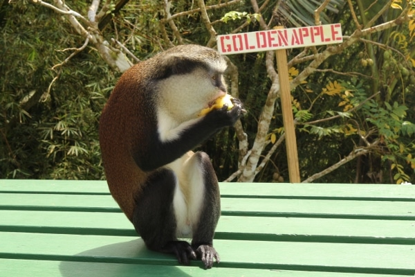 A monkey sitting on a table eating a banana