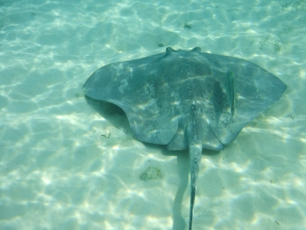 a large stingray swimming under water