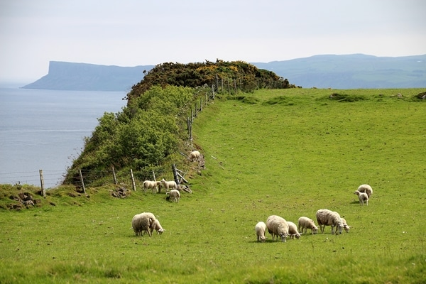 A herd of sheep grazing on a lush green field