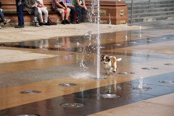 A dog playing around a fountain