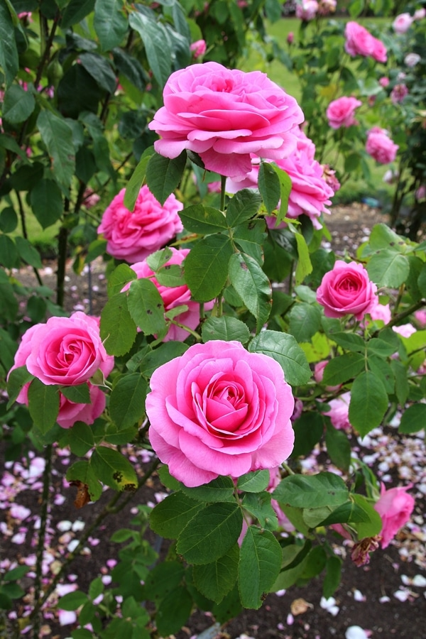 A close up of pink roses