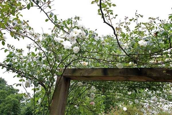 flowers growing over a trellis