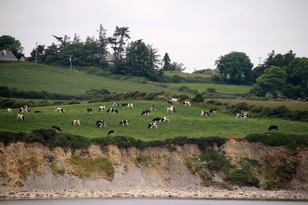 cows grazing on a lush green field