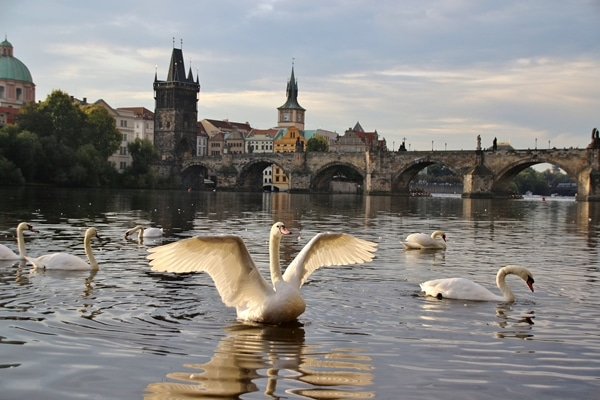 a swan spreading its wings in the river in front of the Charles Bridge