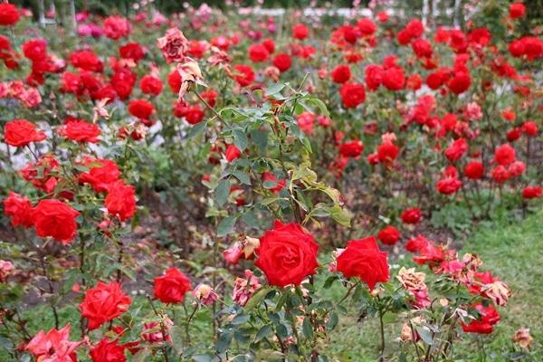 close up of a rose garden
