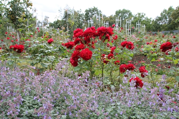 red roses and purple flowers in a garden