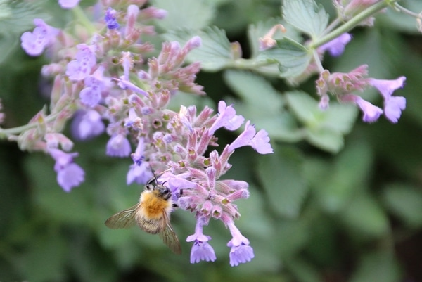 A close up of a bee on a purple flower